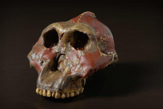 Paranthropus Paranthropus genus Australian Museum