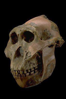 Paranthropus The Genus Paranthropus