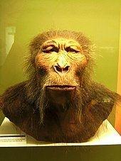 Paranthropus boisei Paranthropus boisei Wikipedia