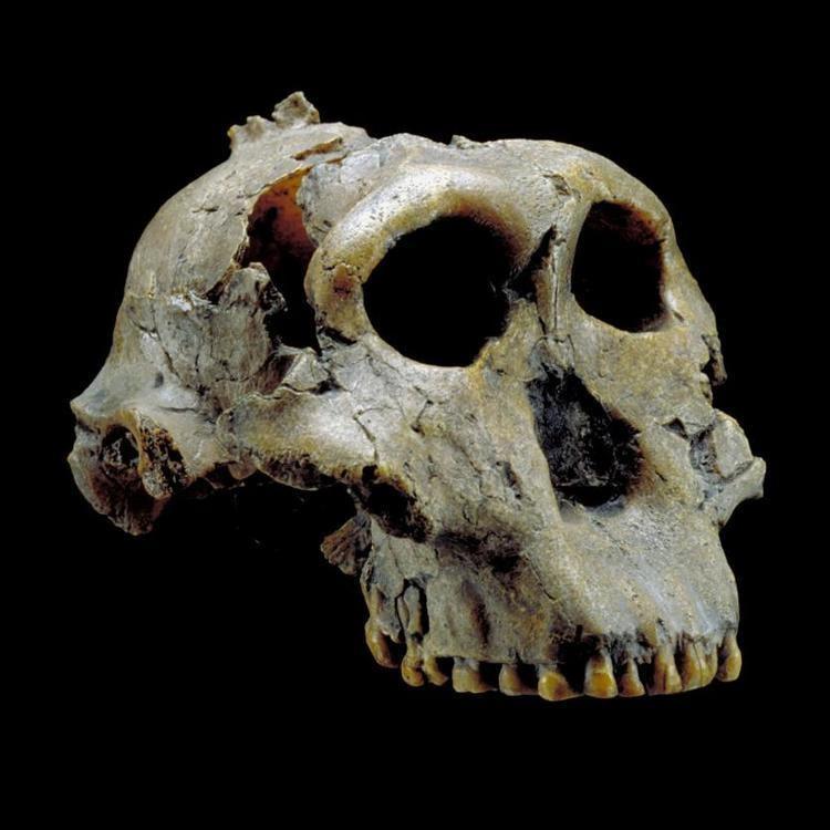 Paranthropus boisei Paranthropus boisei The Smithsonian Institution39s Human Origins