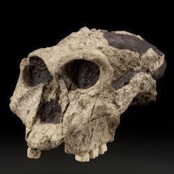 Paranthropus robustus Paranthropus robustus The Smithsonian Institution39s Human Origins