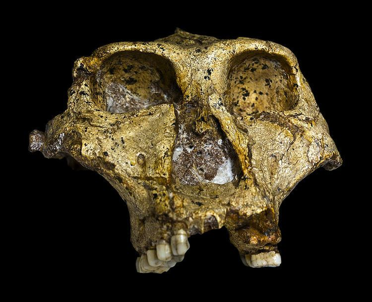 Paranthropus robustus Paranthropus robustus Wikipedia
