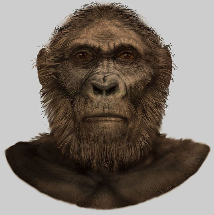 Paranthropus robustus Paranthropus robustus for Smithsonian National Museum of Natural