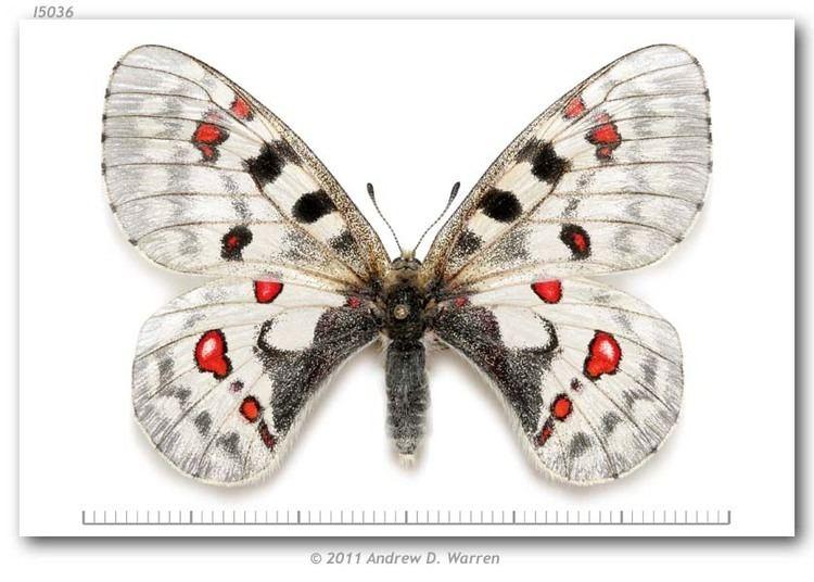 LEPIDOPTERA PAPILIONIDAE PARNASSIUS CLODIUS from USA