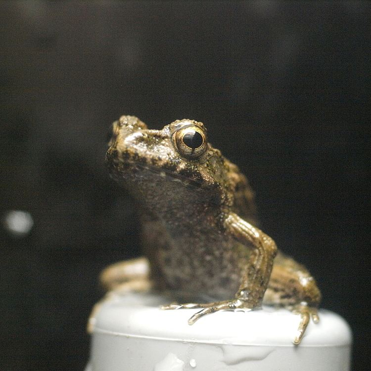 Parthenogenesis in amphibians