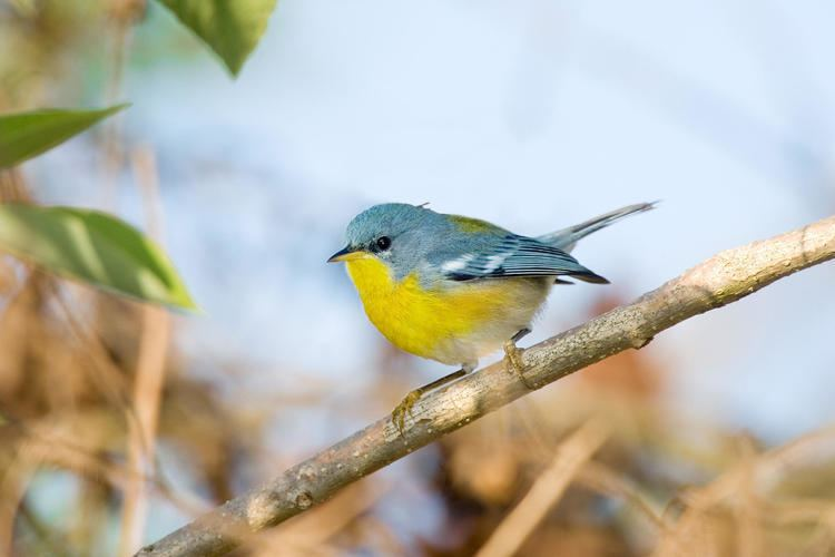 Parula Tropical Parula Audubon Field Guide
