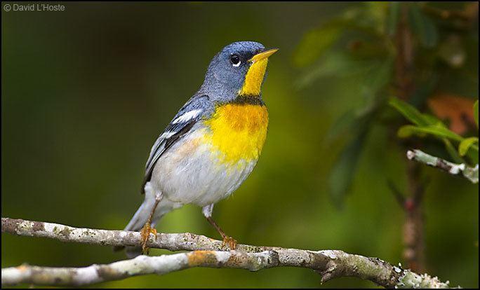 Parula Northern Parula Warbler