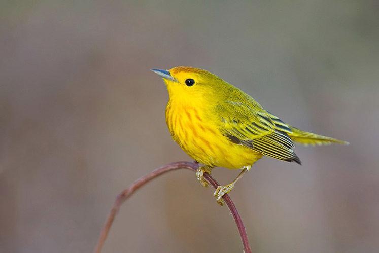 Parula amcnhorgresourcesguidesbirdsimagesSetophaga