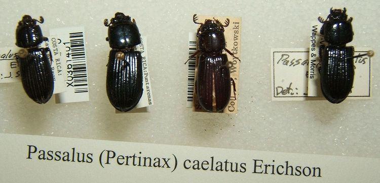 Passalus caelatus
