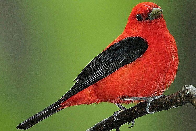 Passerine Passerine Definition What Are Perching Birds