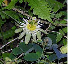 Passiflora arbelaezii httpsuploadwikimediaorgwikipediacommonsthu