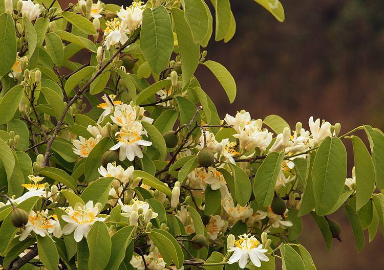 Passiflora arborea Photos of Colombia Flowers Passiflora arborea