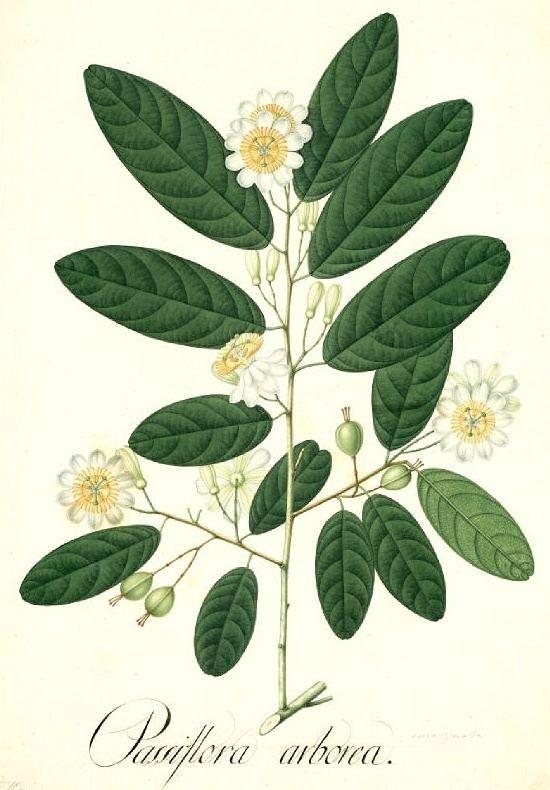 Passiflora arborea Passiflora arborea quotTree Passionflowerquot