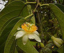 Passiflora arborea httpsuploadwikimediaorgwikipediacommonsthu