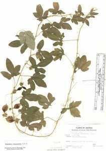Passiflora bryonioides hasbrouckasueduimglibseinetPassifloraceaeher