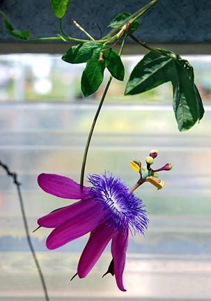 Passiflora loefgrenii httpswwwanniesannualscomsignsp2020rimag