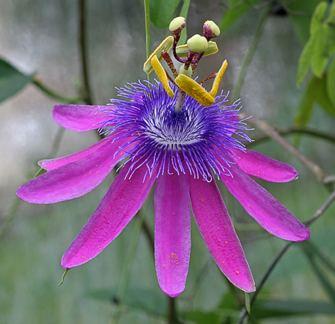 Passiflora loefgrenii Passiflora loefgrenii quotGarlic Passion Fruitquot Buy Online at Annie39s