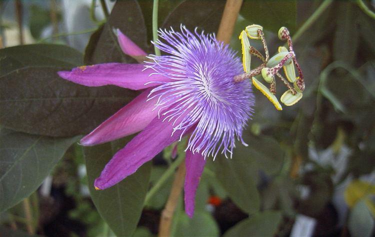 Passiflora loefgrenii Passiflora loefgrenii Corupa