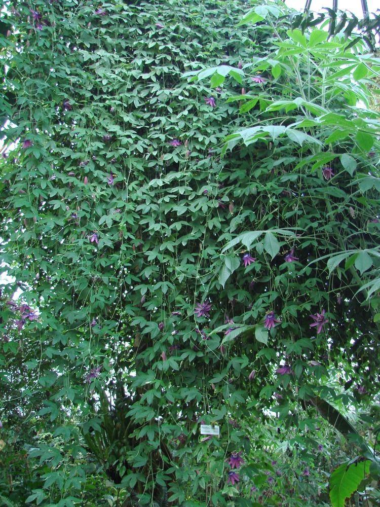 Passiflora loefgrenii Passiflora loefgrenii Images Useful Tropical Plants