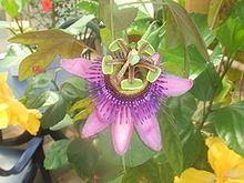 Passiflora picturata httpsuploadwikimediaorgwikipediacommonsthu