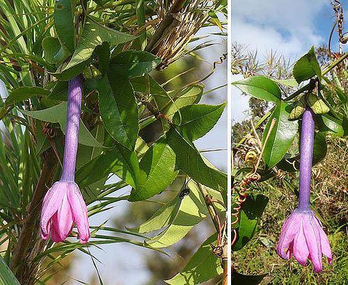 Passiflora roseorum farm4staticflickrcom376011256899504244cd8ea9