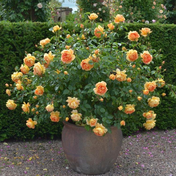 Pat Austin Pat Austin English Rose Shrubs English roses bred by David Austin