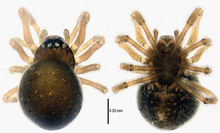 Patu digua Two new species of Chinese spider are positively weeny Scientific