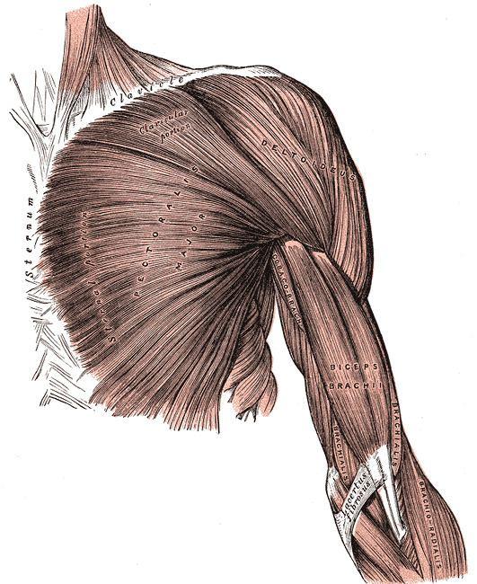 Pectoral fascia