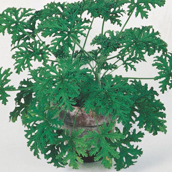 Pelargonium 'citrosum' Citrosa Geranium Indoors Pelargonium citrosum My Garden Insider