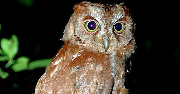 Pemba scops owl is one of the island's few endemic bird species  I  Credit: alchetron.com