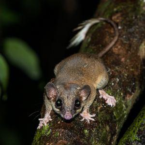 Pen-tailed treeshrew Way Kambas Sumatra mammal trip Aug 2014 Paul Carter