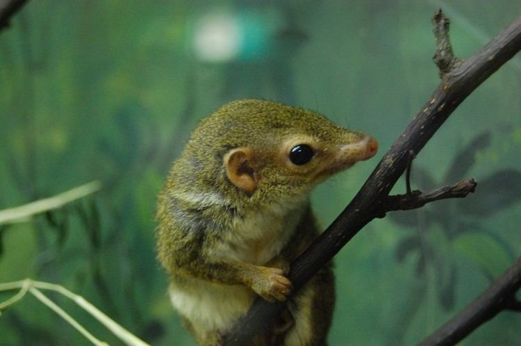 Pen-tailed treeshrew Animals Who Guzzle Alcohol Like Every Day Is A Mardi Gras Party