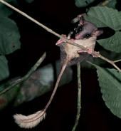 Pen-tailed treeshrew newsnationalgeographiccomnewsimagesthumbs080