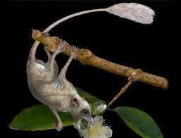Pen-tailed treeshrew Pentailed treeshrew Ptilocercus lowii the only known wild