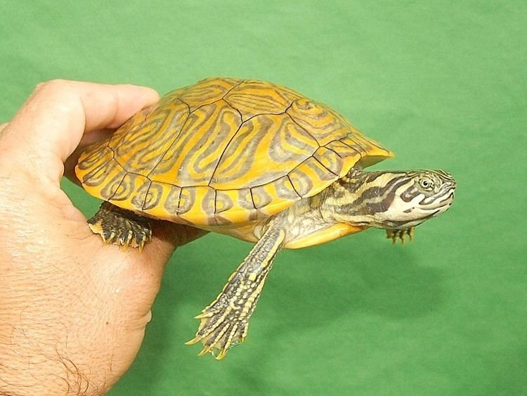 Black cooter