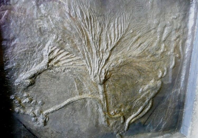 Pentacrinites Crinoids Pentacrinites Holzmaden Crinoid