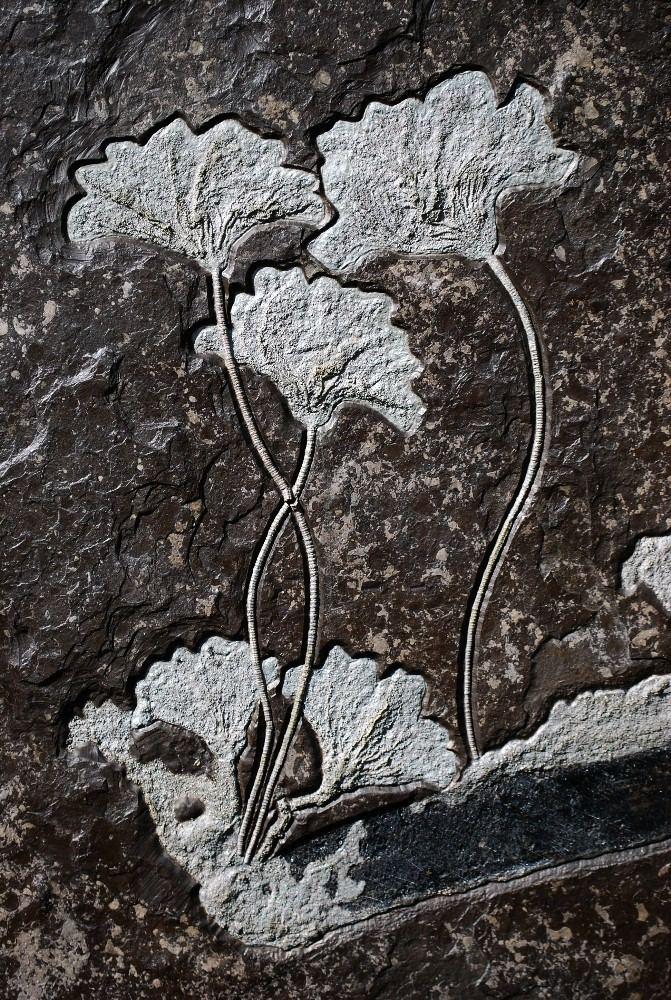 Pentacrinites German Holzmaden Pentacrinites Crinoid 2 Indiana9 Fossils