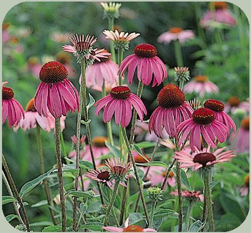 Perennial plant What Is An Annual Perennial Biennial