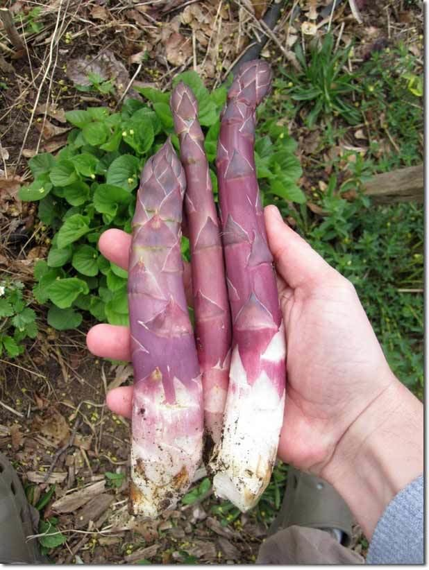 Perennial vegetable Spring Season of Perennial Vegetables in the ColdClimate Garden