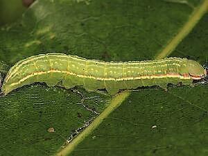 Peridea angulosa Moth Photographers Group Peridea angulosa 7920