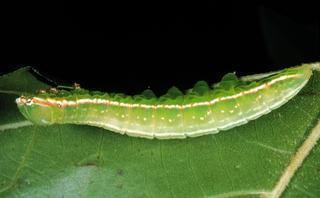 Peridea angulosa Peridea angulosa Discover Life