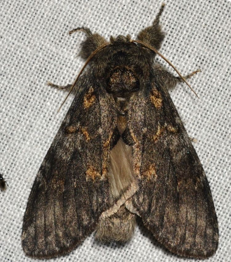 Peridea angulosa File 7920 Peridea angulosa Angulose Prominent Moth