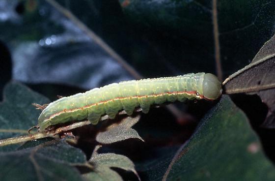 Peridea angulosa Angulose Prominent Caterpillar Peridea angulosa BugGuideNet