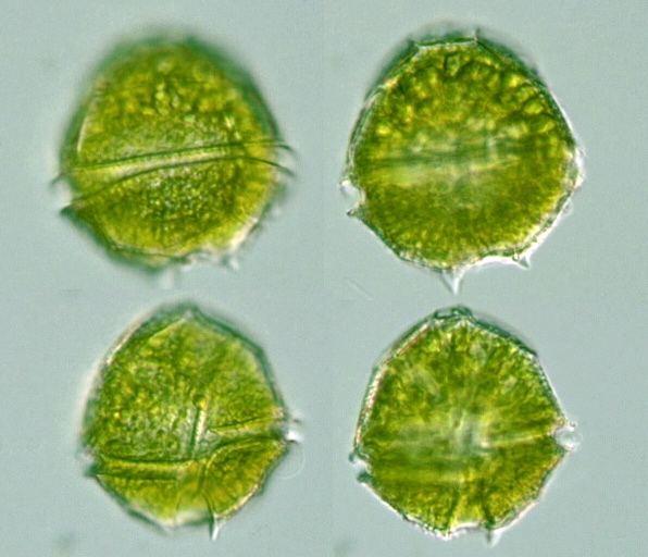 Peridinium Protist Images Dinophyta Dinoflagellata Peridinium bipes