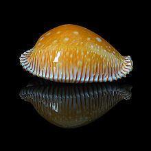 Perisserosa guttata httpsuploadwikimediaorgwikipediacommonsthu