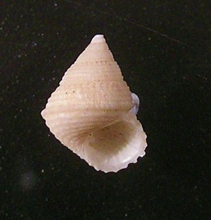 Perrinia concinna httpsuploadwikimediaorgwikipediacommons00