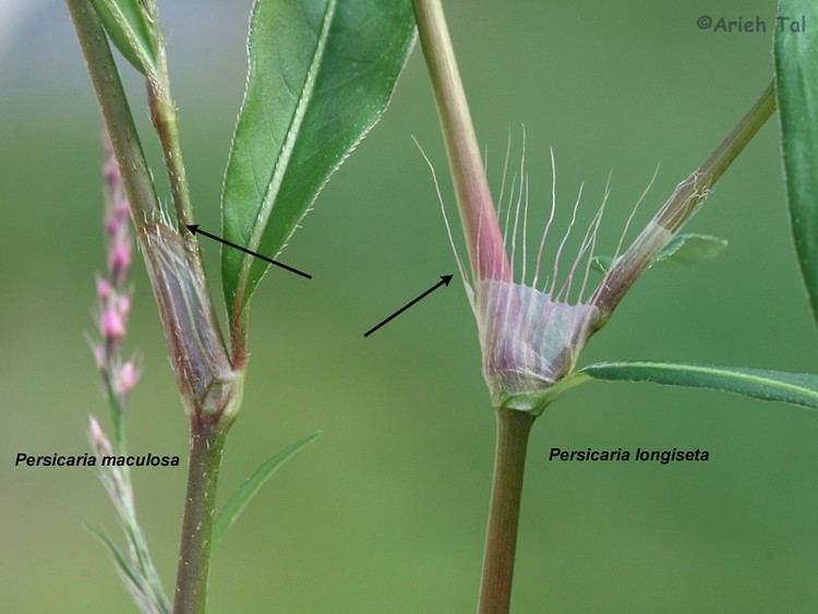 Persicaria maculosa Persicaria maculosa lady39sthumb smartweed Go Botany