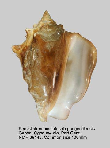 Persististrombus latus HomeNATURAL HISTORY MUSEUM ROTTERDAM Mollusca Gastropoda