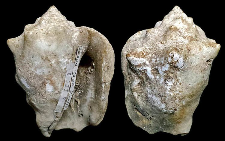 Persististrombus latus Gastropoda Stromboidea Species Persististrombus Latus