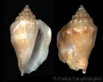 Persististrombus latus Persististrombus latus arenensis var